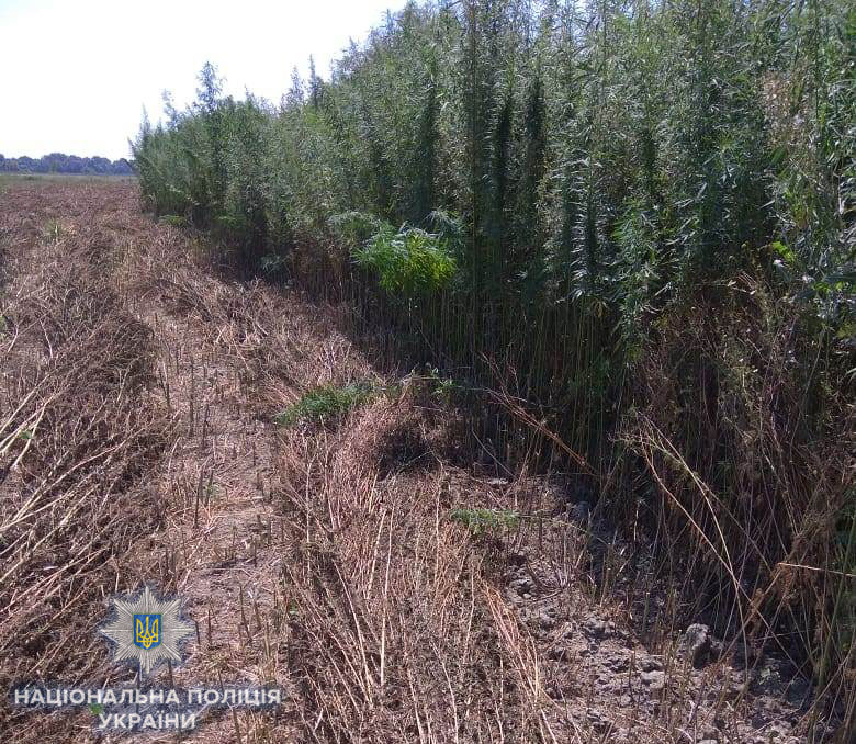 В Одесской области обнаружили поле конопли на 20 млн грн (фото)